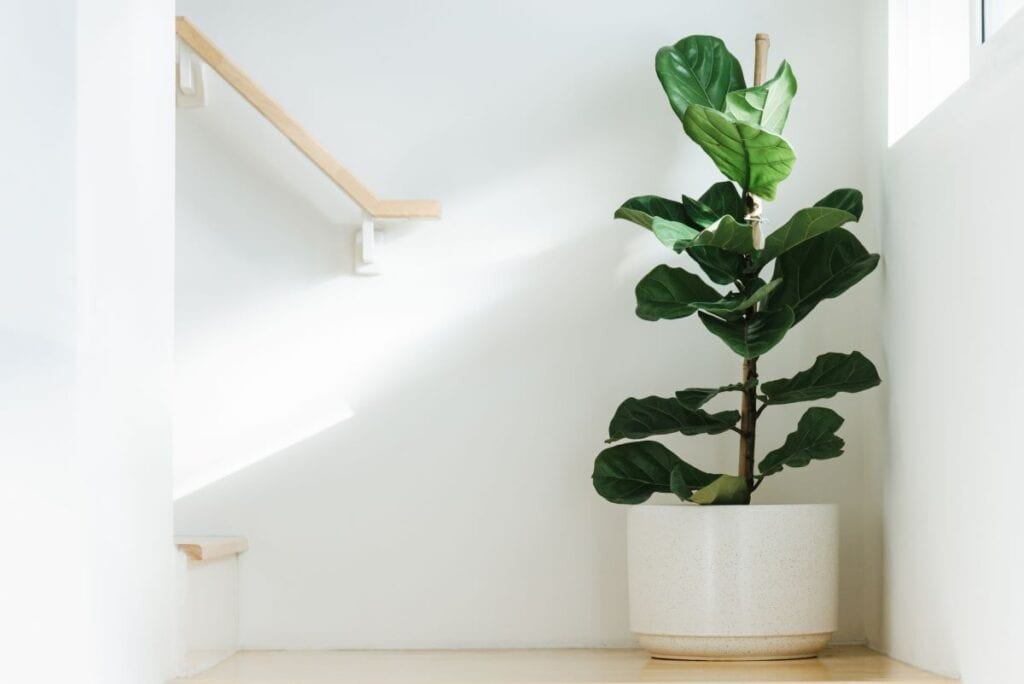 Indoor fig tree in white modern planter in the corner of a staircase