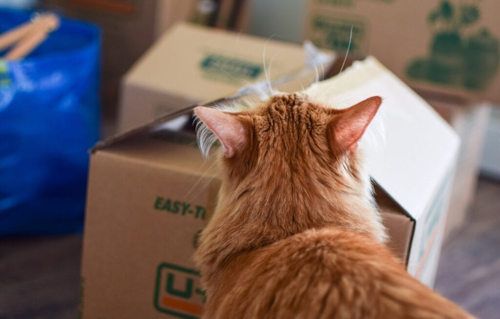 Orange-haired cat looking at moving box