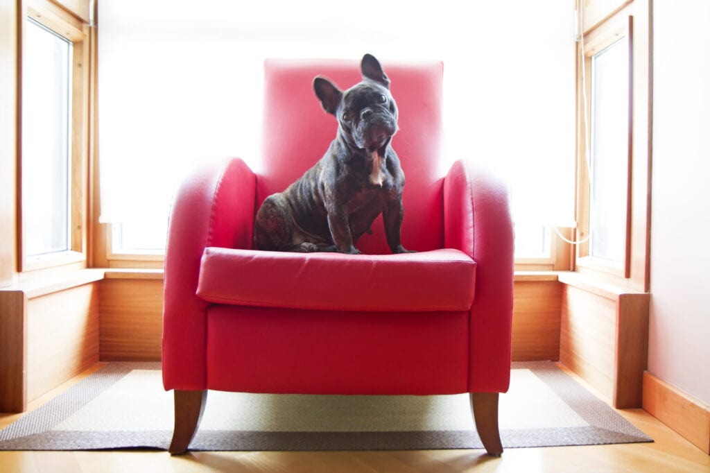 frenchie on a couch