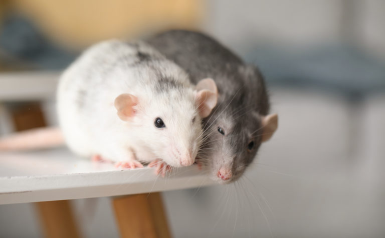 White and grey mouse on the edge of a table