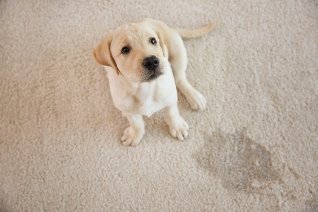 Cute puppy sits next to wet spot on carpet