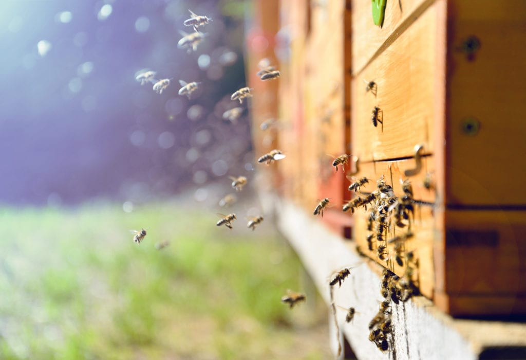 A swarm of bees try to enter wooden siding. Learn more about all natural bee control.