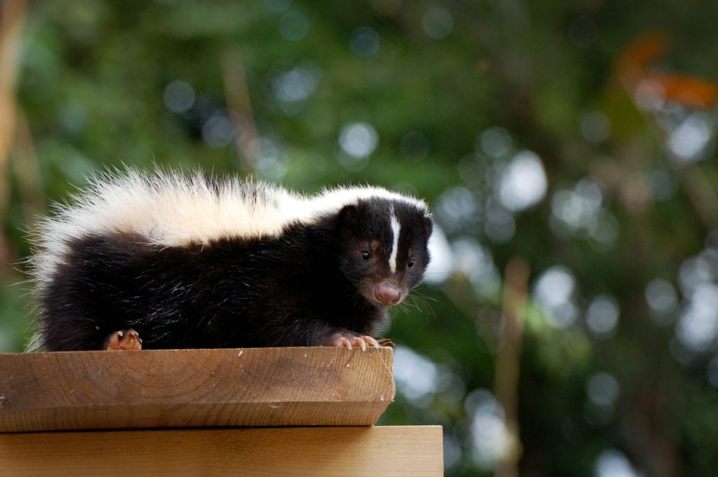skunk on picnic table