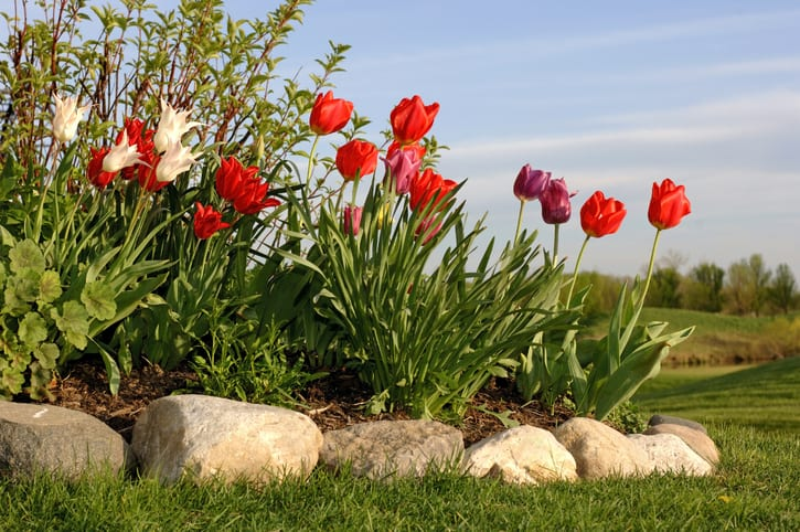 Multi-colored tulips with river rock edging