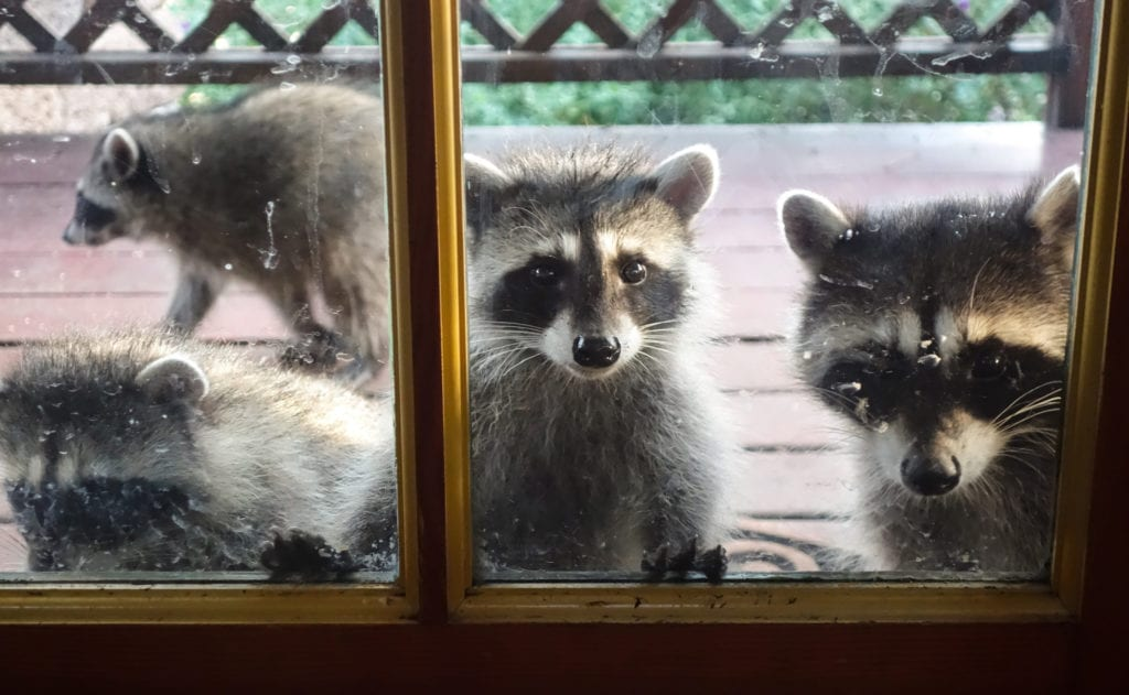 Raccoons waiting outside of door of home