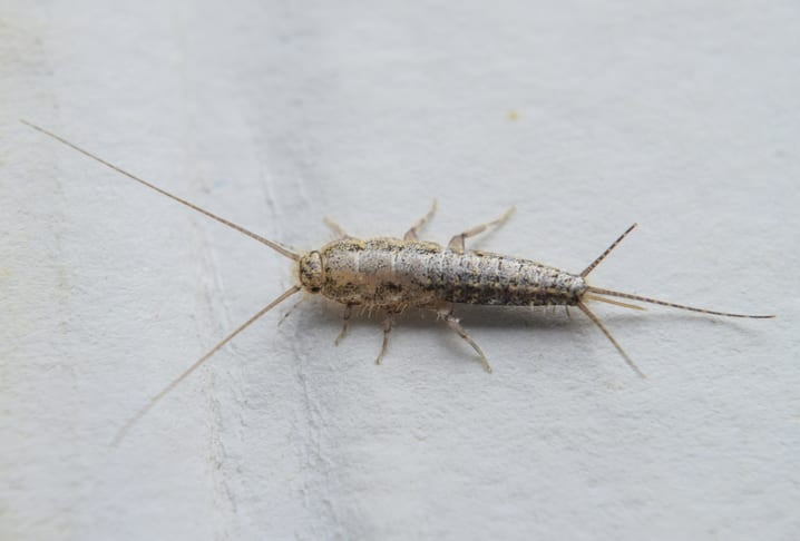 Silverfish on paper