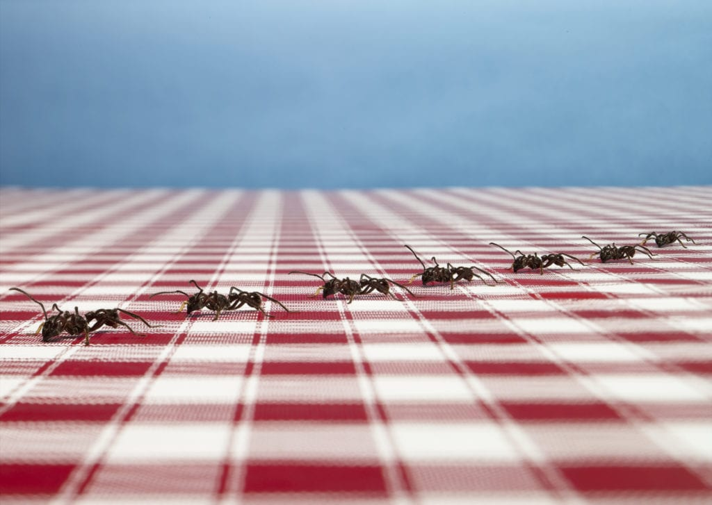 Row of ants on tablecloth
