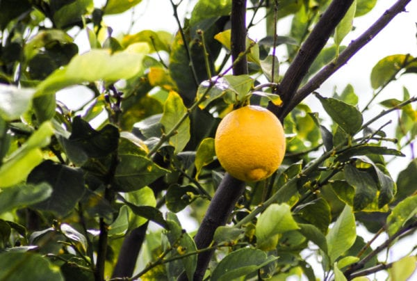 Lemon tree in Arizona