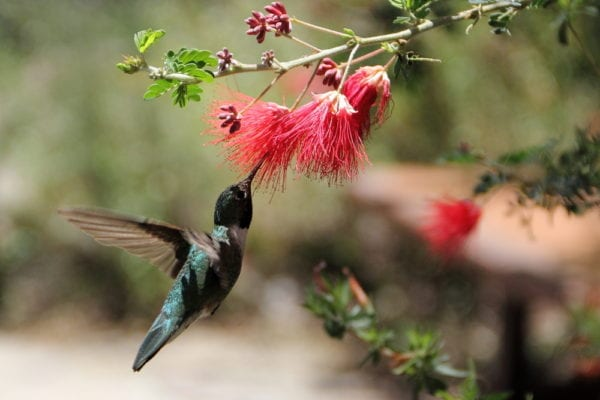Hummingbird in Arizona