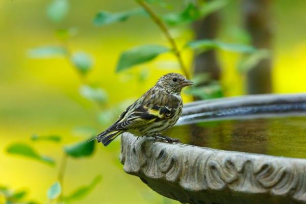 Bird perched on edge of birdbath close up