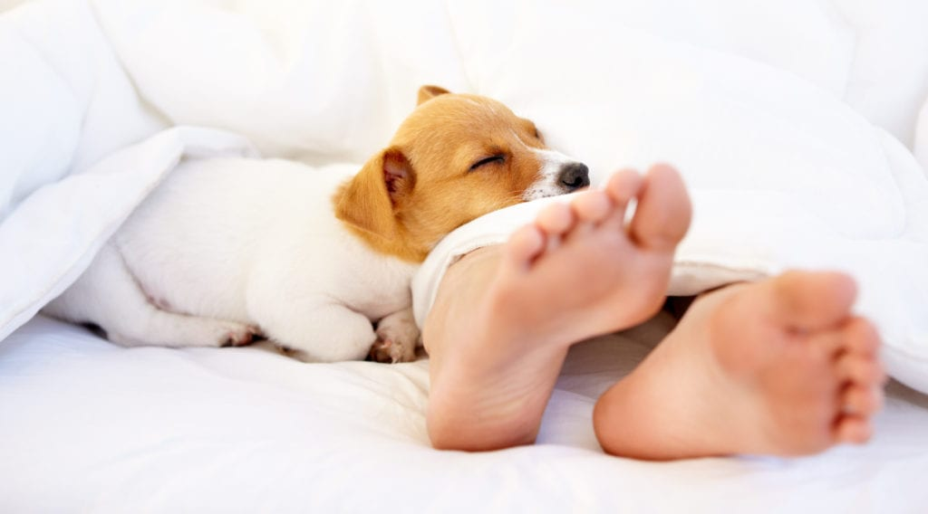 A cute puppy lying in bed on its owner's feet