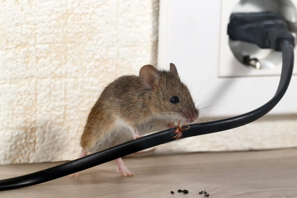 Closeup mouse gnaws wire plugged into wall outlet