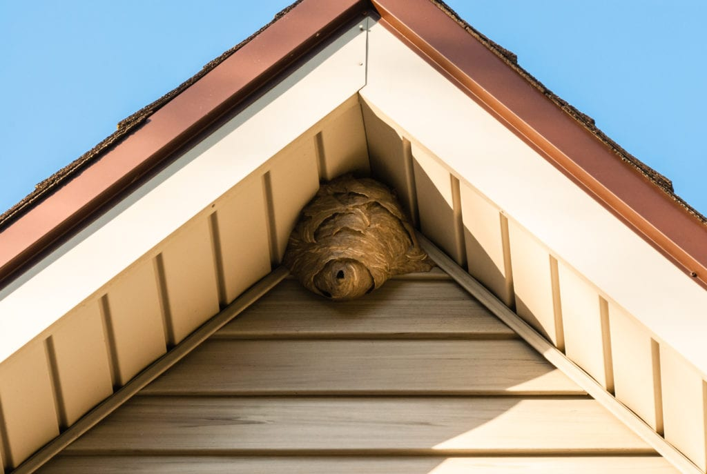 Wasp nest attached to roof of house