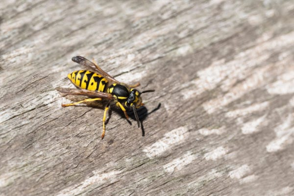An up-close shot of a yellow jacket