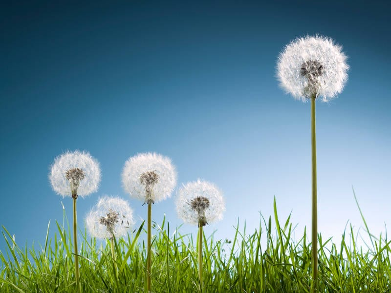 allergy-free lawn and worst weeds for allergies