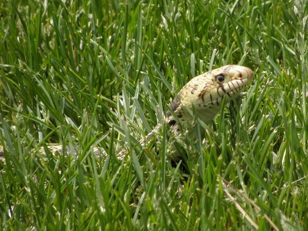Snake hiding in grass