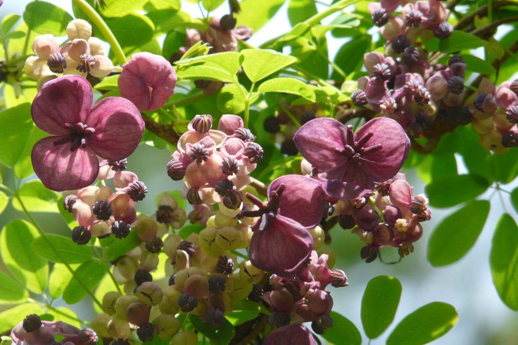 chocolate vines